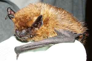 Common Pipistrelle Photo Bb Cornes