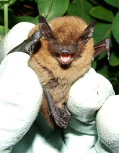 Common pipistrelle Photo by Bob Cornes