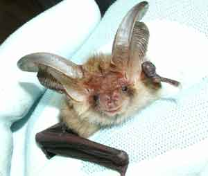 Brown long eared bat Bob Cornes