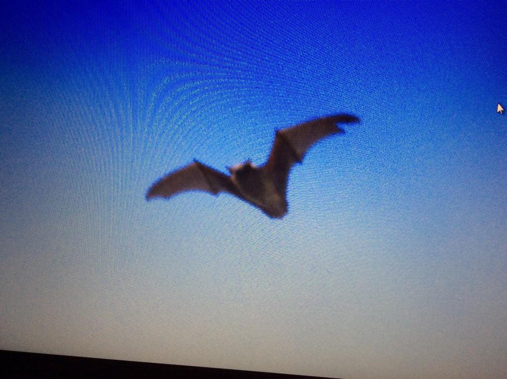 noctule with wing tear (2)