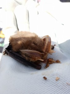 Norman is a brown long bat who is a long term captive as he has a damaged wing. He is one of our eductrion bats. Photo by Hedj Dollman