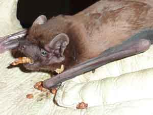 noctule-with--mealworm