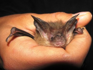 Tasmanian long eared bat