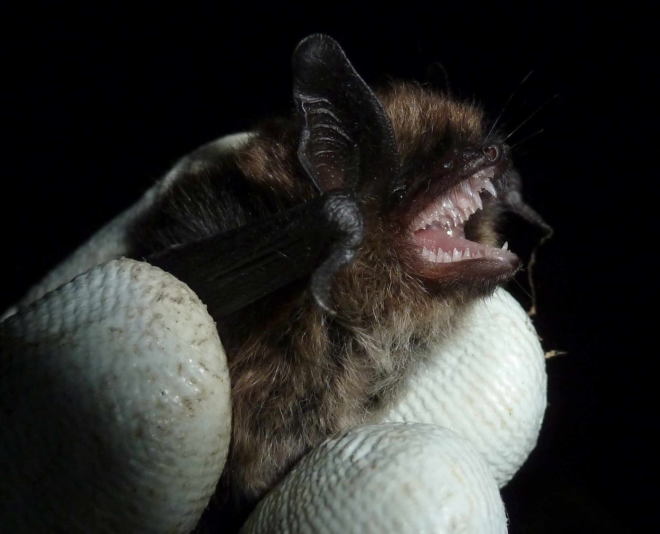 Whiskered bat Photo Bob Cornes