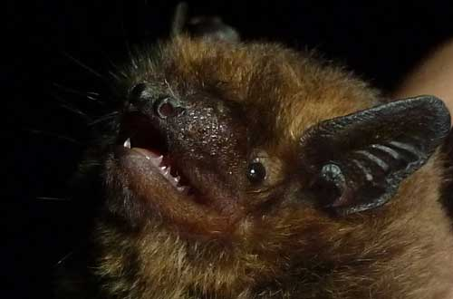 soprano pipistrelle Photo Jude Hirstwood( picture taken elsewhere)