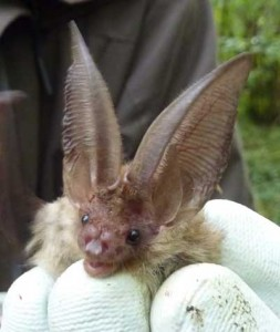 Brown long eared bat Photo Laura Gravestock