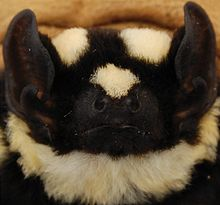 http://en.wikipedia.org/wiki/Pied_bat