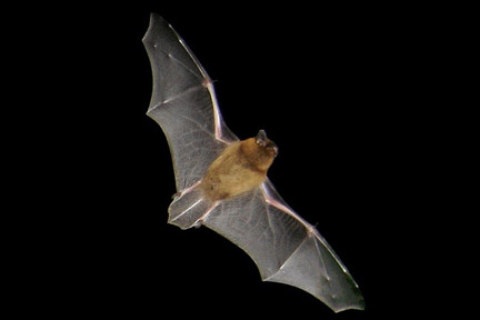 Photo of pipistrelle in blight by RHS