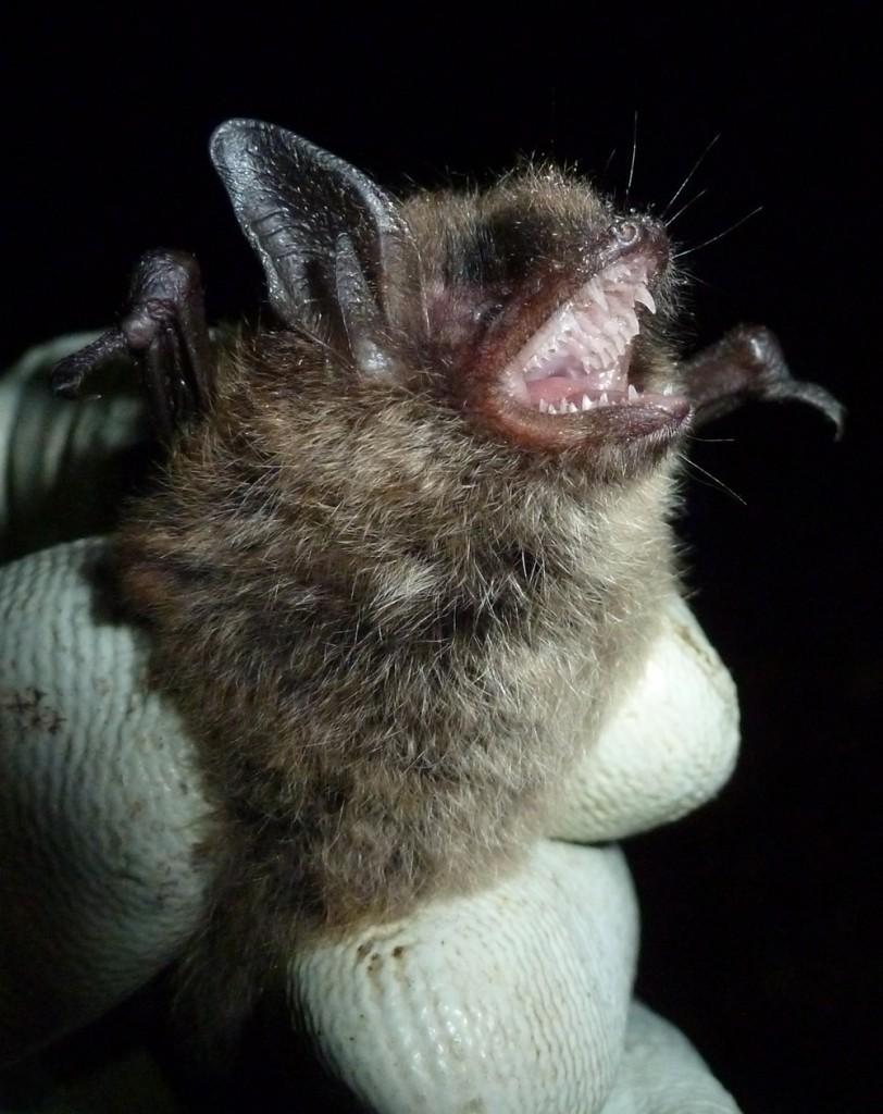 Almost certainly a Brandt's bat.Photo Bob Cornes