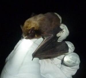 Nathusius pipistrelle Photo Jude Hirstwood