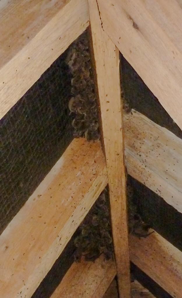 Soprano pipistrelles roosting in a roof space. Bob Cornes