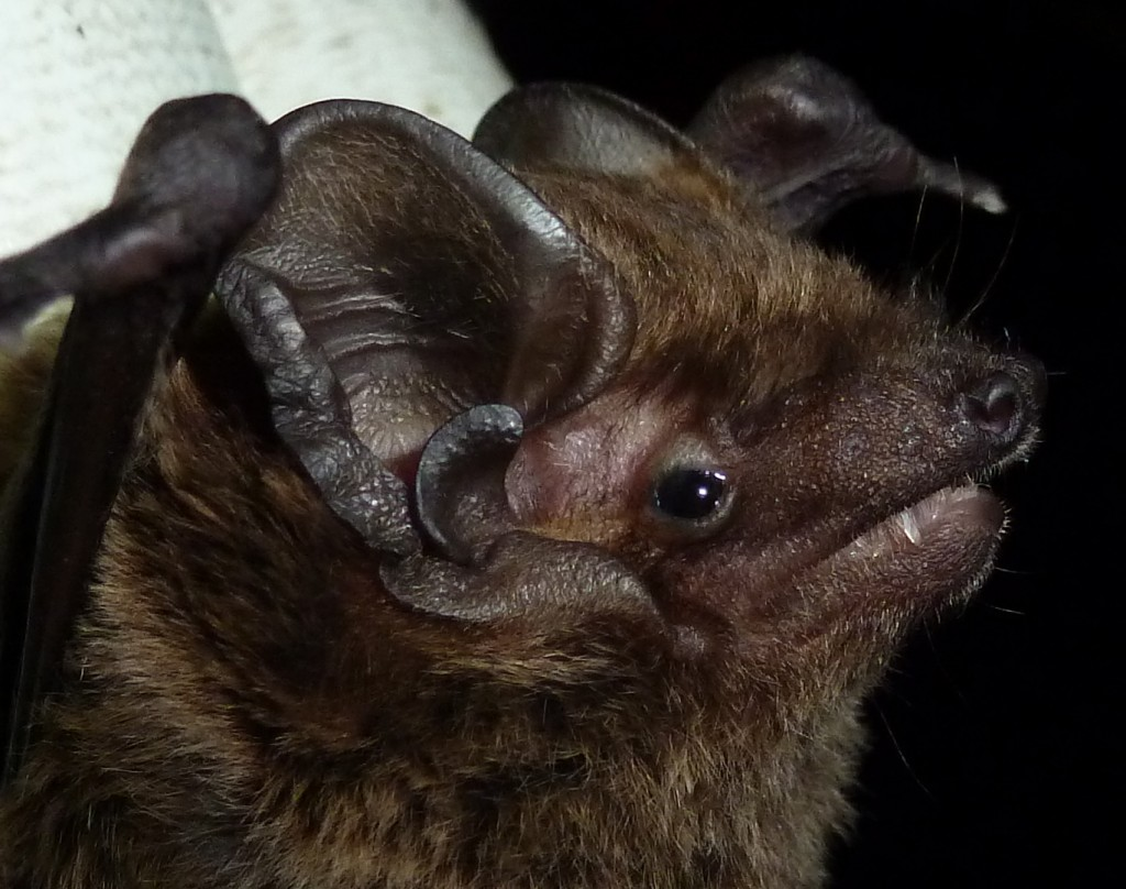 In 2012 we caught our first ever Leisler's Bat in the county Photo Bob Cornes