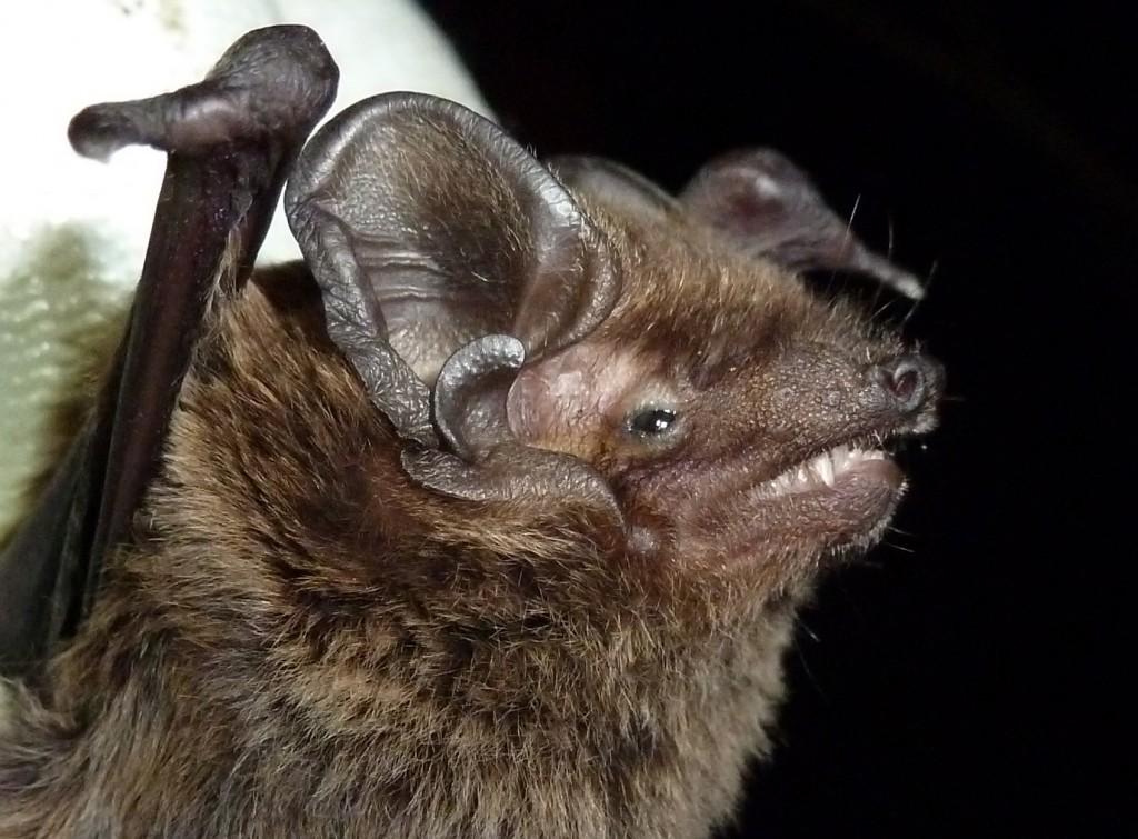 Leisler's bat. Photo Bob Cornes