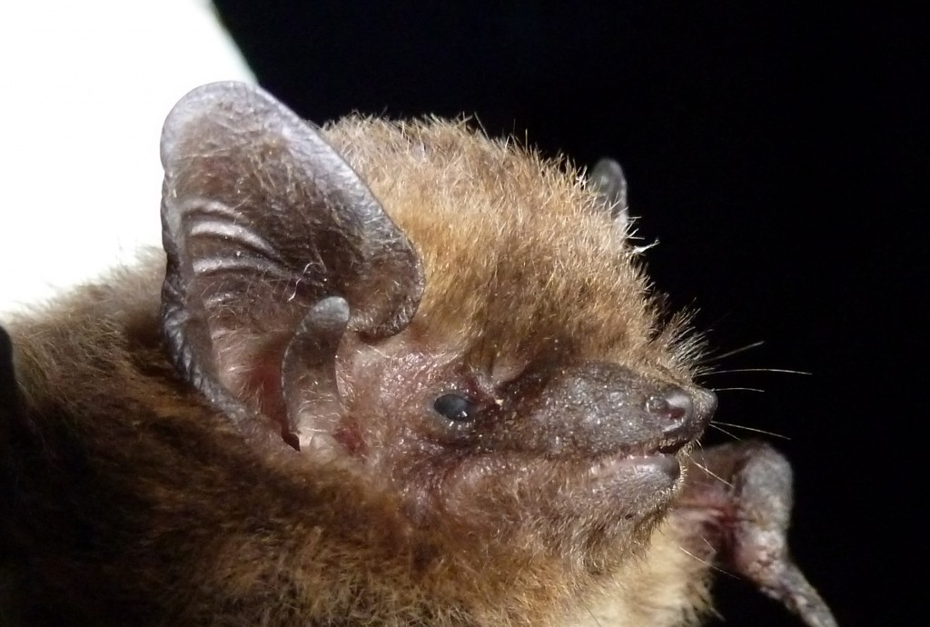Nathusius pipistrelle. Photo Bob Cornes