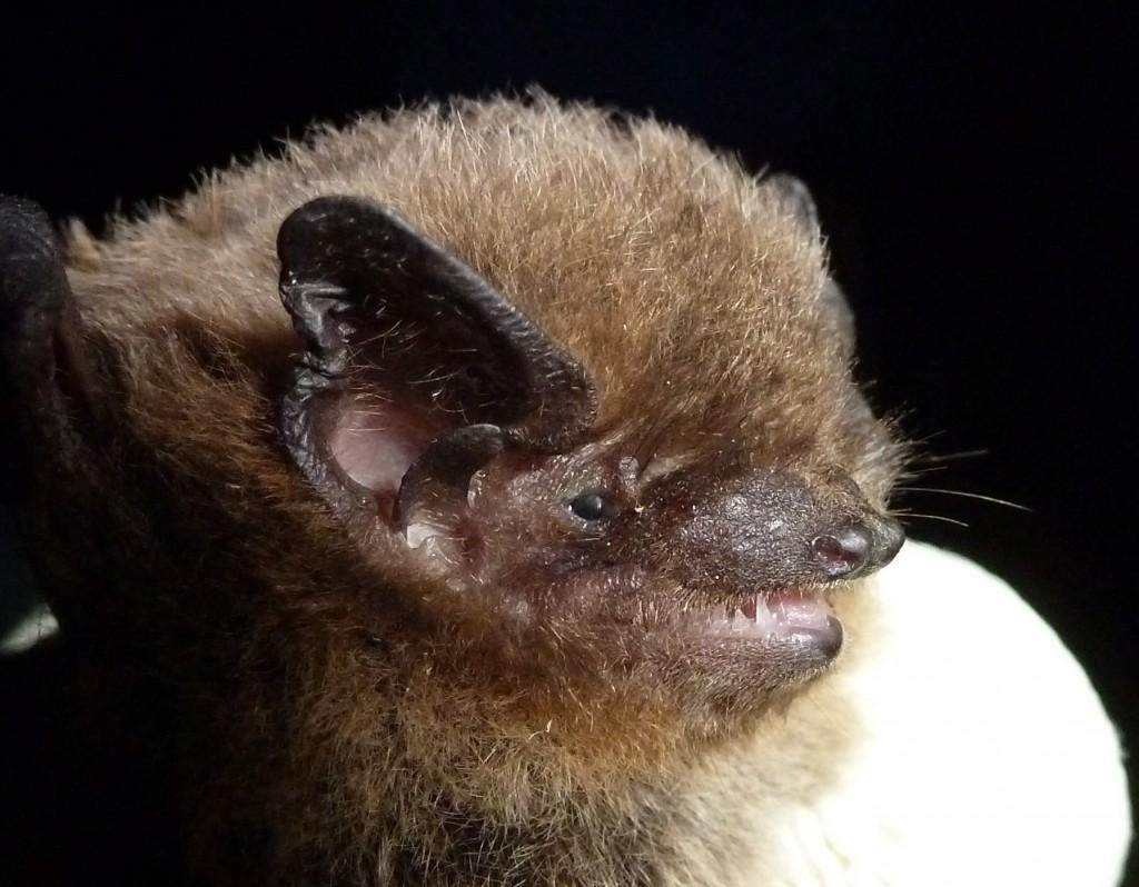 Nathusius pipistrelle3