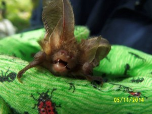 brown long eared bat  in the gloved hand. Photo Mark Best