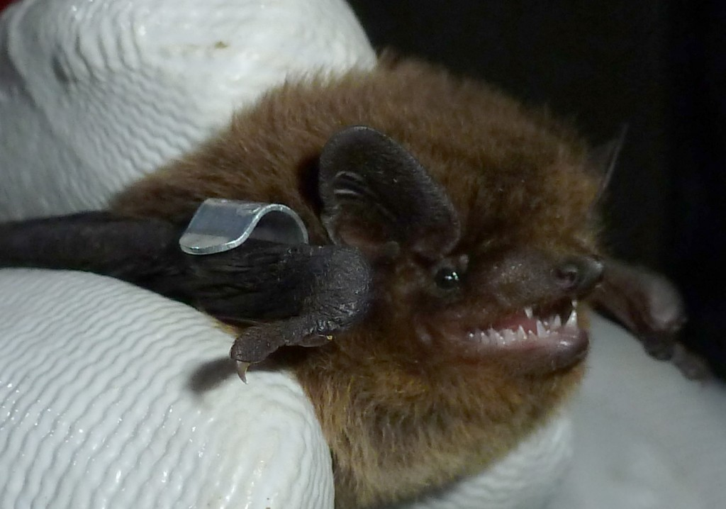 Nathusius pipistrelle with ring. Photo Bob Cornes