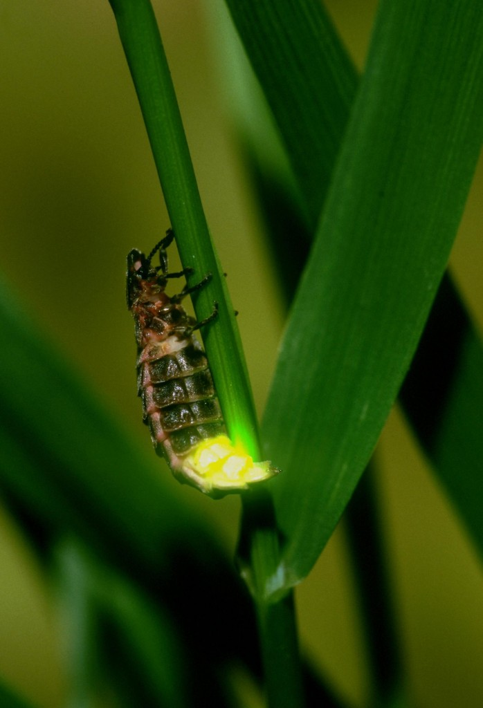 Photo of glow worm RSPB