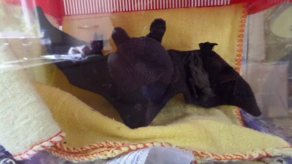 young bat2