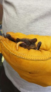 Juvenile Noctule. Photo Elaine Rigby