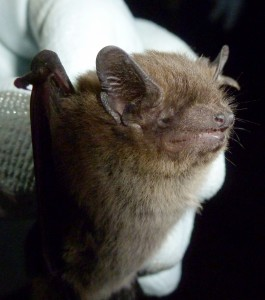 Nathusius pipistrelle Photo Bob Cornes