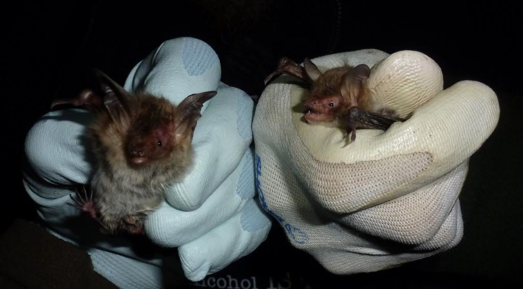 Alcathoe is a tiny bat. Photo (c) Bob Cornes