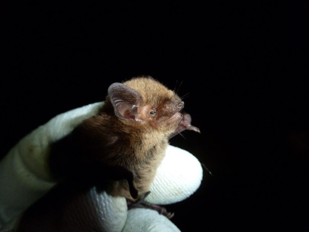 Soprano pipistrelle Photo Bob Cornes