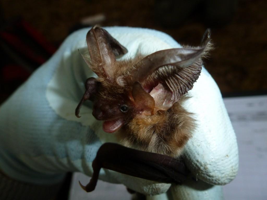 Brown long eared bat Photo (c) Bob Cornes