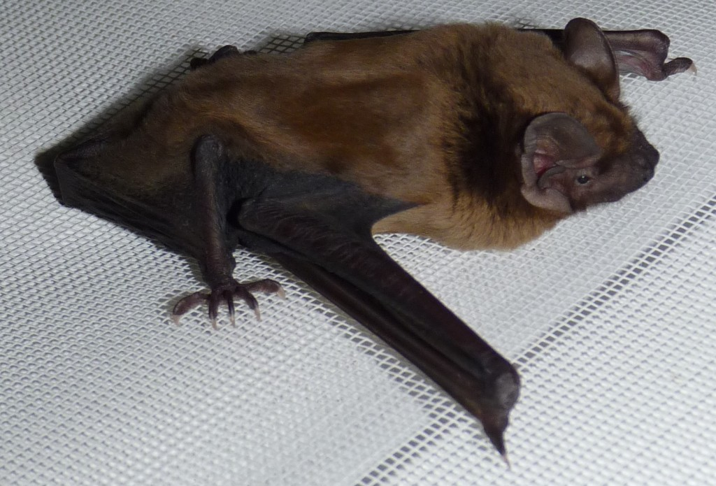 The same Noctule as an adult Photo Colin Edwards