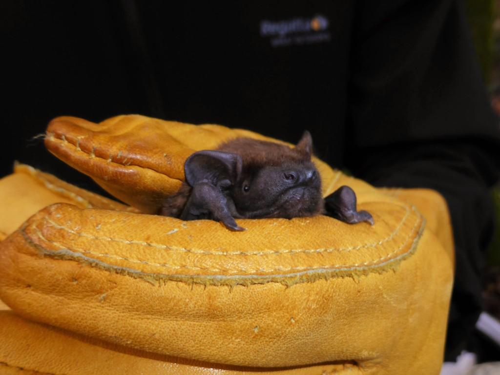 Juvenile   female noctule.Photo Gwen Hitchcock