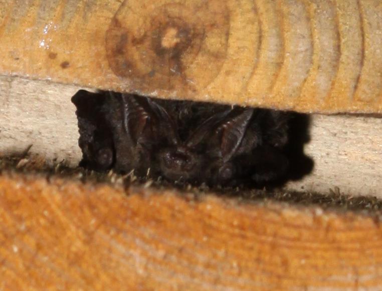 Barbatellle in a Kent Bat boc. Photo (c) Daniel Fellman