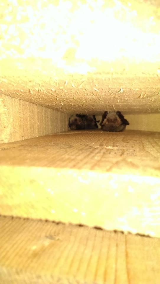 2 Natterer's in a hibernation box