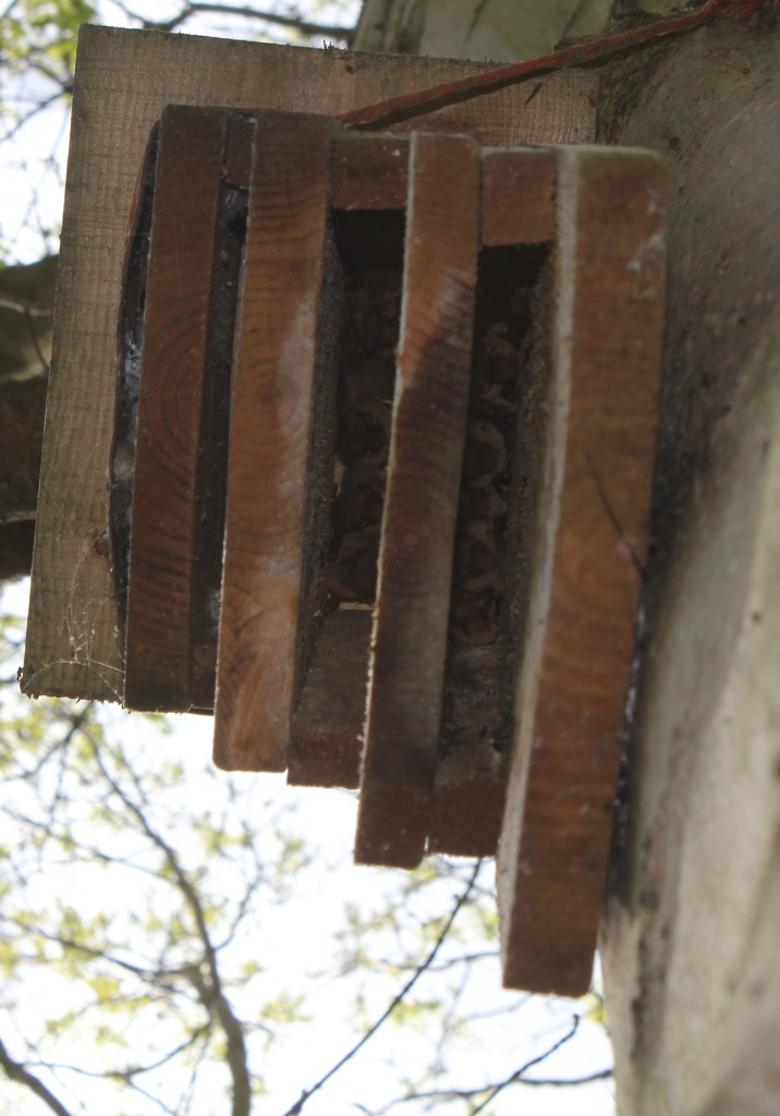 Pipistrelle in a kent bat box. Photo Bob Cornes