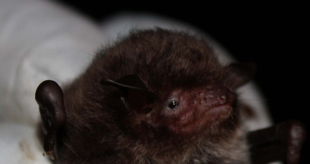 Grumpy bat. Photo Bob Cones