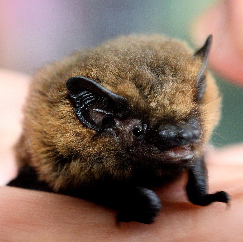 male common pipistrelle. Photo Dick Hogg