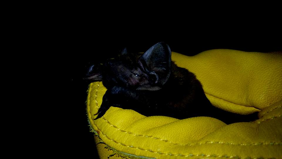 sleepy Noctule Photo Kaye Sharma