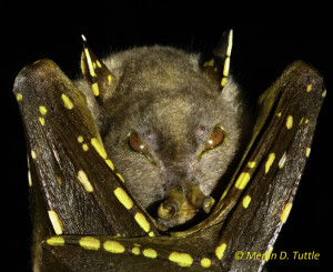 Eastern tube-nosed bat (Nyctimene robinsoni) from Australia. Portraits, Pteropodidae, E Australia. Photo Merlin Tutlae