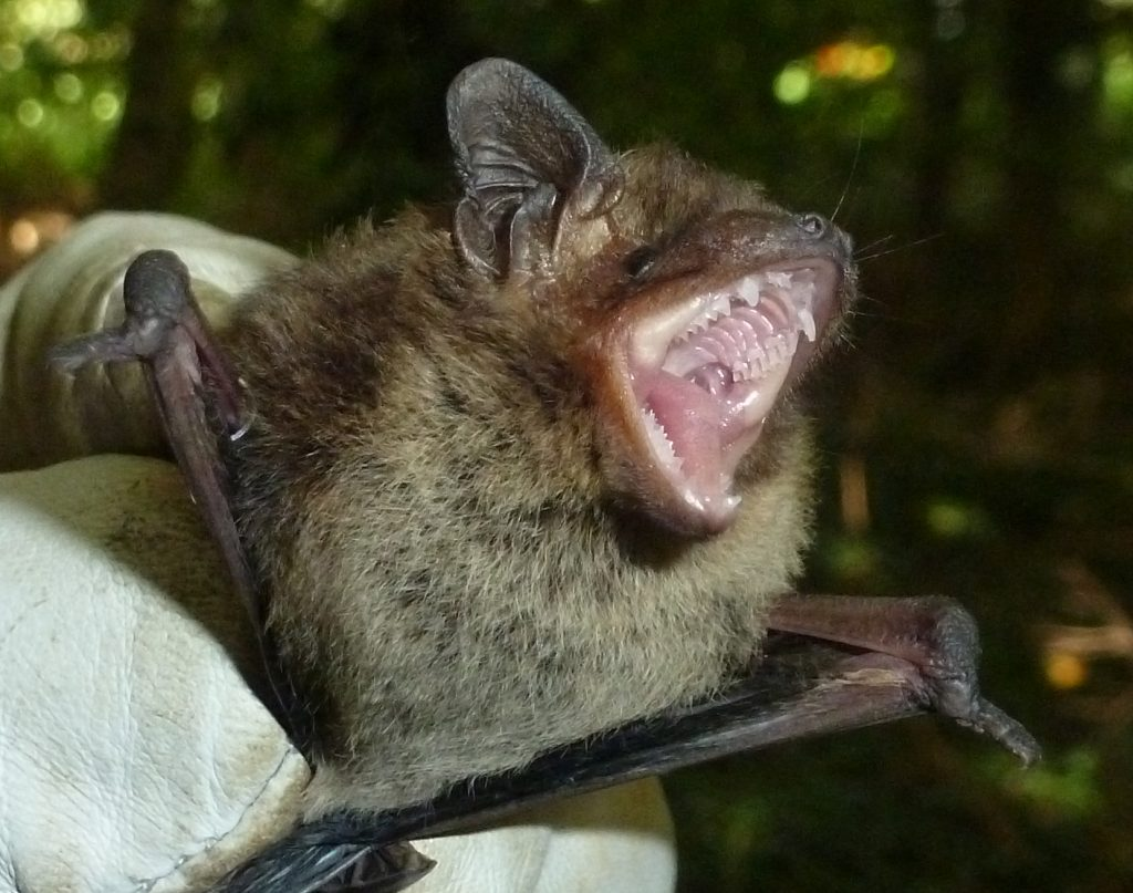 Nathusius male. Photo Jude Hiurstwood