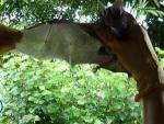 Chrotopterus auritus (27).jpg