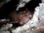 Brown-Long-eared-Bat.jpg