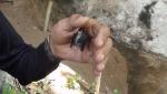 C. thonglongyai in hand.jpg