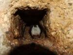 hibernating-Natterer's-bat-.jpg