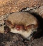 Hibernating myotis cro-dhp.jpg