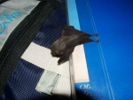 View the album Kitti&#039;s hog nosed bat