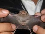 Kitti's hognosed bat 08.jpg