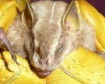 Platyrrhinus-helleri-(2).jpg