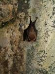 Kitti's hognosed bat 06.jpg