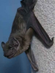 Noctule before his release