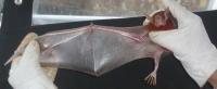 Noctilio-leporinus(2).jpg