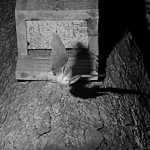 infra red photograph of brown  long eared bat emerging from a bat box 2